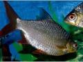 Барбус лещевидный (Барбус Шванифельда) - Barbus schwanenfeldi.