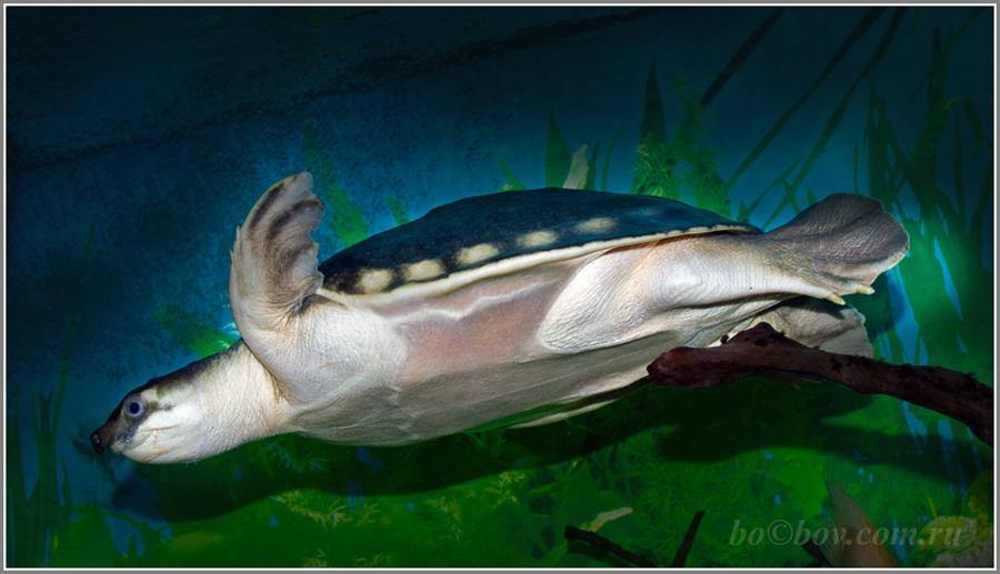 Черепаха свинорылая двухкоготная. (Carettochelys insculpta )