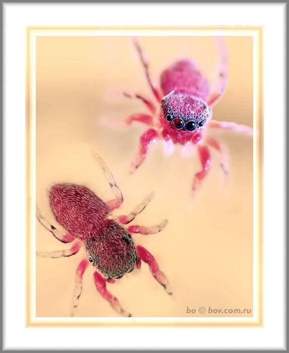 Неизвестный скакунчик.Очень маленький 3-5 мм. Привлек необычной красной окраской.