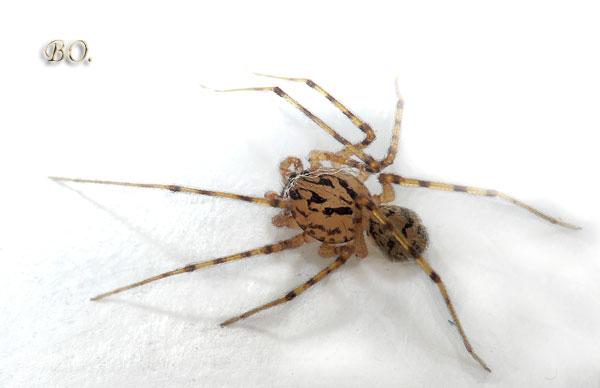 Пауки-плеваки, или сцитодесы (Scytodes thoracica, Scytodidae).