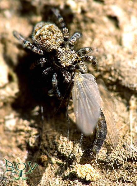 личинка рода Sitticus