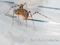 Самка паука Scytodes thoracica с расплодом