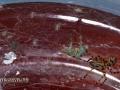 молодые паучки Scytodes thoracica
