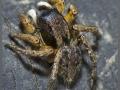 Семейство пауки-скакунчики (Salticidae).