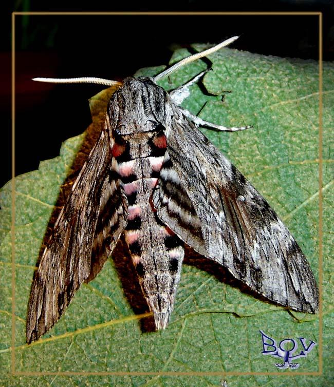 Вьюнковый бражник (Agrius convolvuli)