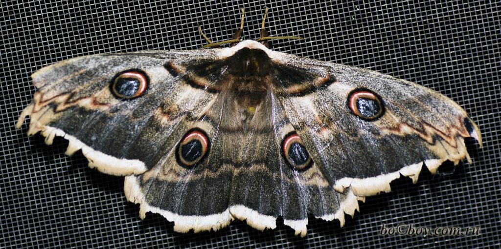 Павлиноглазка грушевая, или большой ночной павлиний глаз, или сатурния грушевая ( лат. Saturnia pyri). Самка.