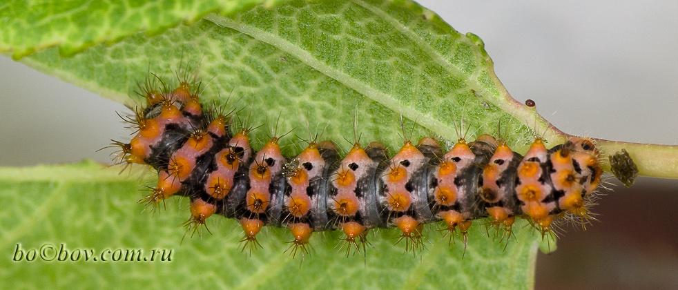 Павлиноглазка грушевая, или большой ночной павлиний глаз, или сатурния грушевая ( лат. Saturnia pyri). Гусеница L3.