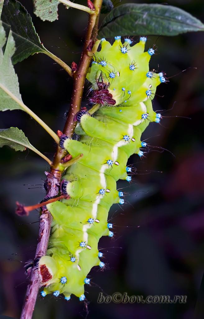 Павлиноглазка грушевая, или большой ночной павлиний глаз, или сатурния грушевая ( лат. Saturnia pyri). Гусеница.