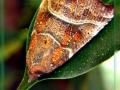 Scoliopterix libatrix