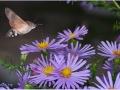 Бражник Языкан обыкновенный.  Macroglossum stellatarum