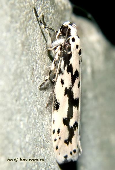 Ethmia candidella,бабочка