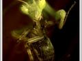 mantis_religios_2