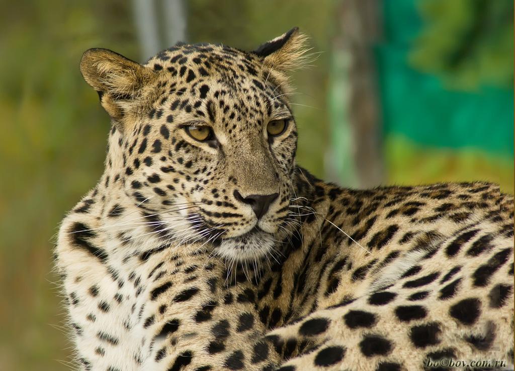Леопард.Геленджик, Сафари -Парк.