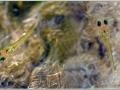 личинки  Aphyosemion australe