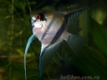 Pterophyllum scalare. Доминирующий самец.