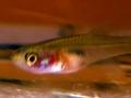 N.Eggersi red