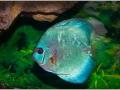 Дискус голубой алмаз (Symphysodon aequifasciatus var.)