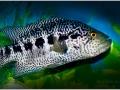 Цихлазома Манагуа (parachromis Managuensis)