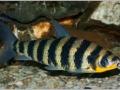 Лепорин афинис (Leporinus affinis)