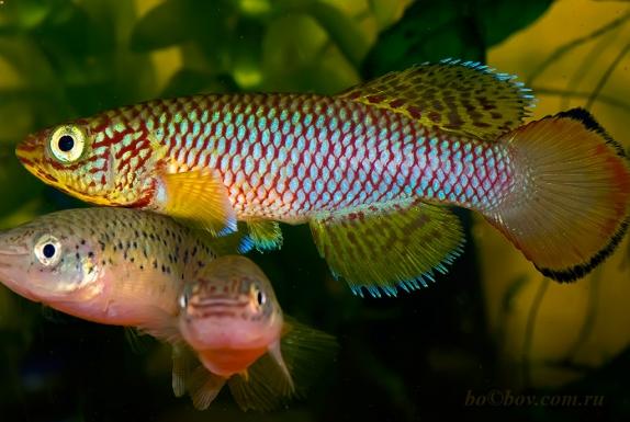 Nothobranchius lucius Ruhoi River TZN 09/10