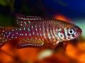 Simpsonichthys santanae 'TT'