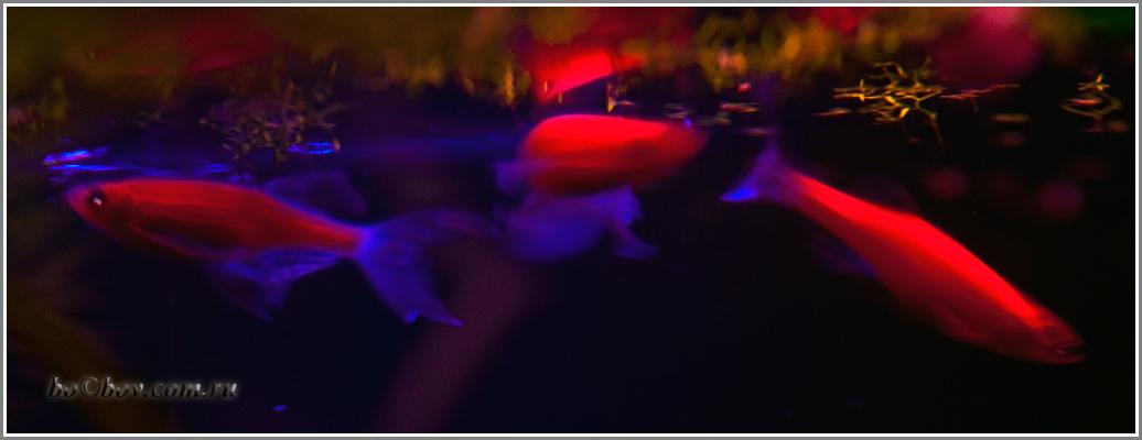 ГМ данио рерио, светятся в ультрафиолетовом  свете.