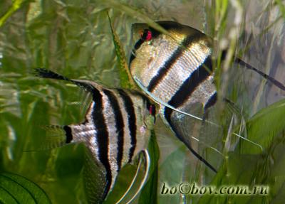 Нерест скалярий,самец оплодотворяет икру