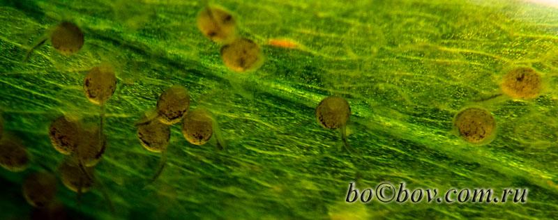 Через два дня липкая оболочка рвется, превращаясь  в липкий канатик  держащий личинку. Личинки двигаются с помощью жгутика.