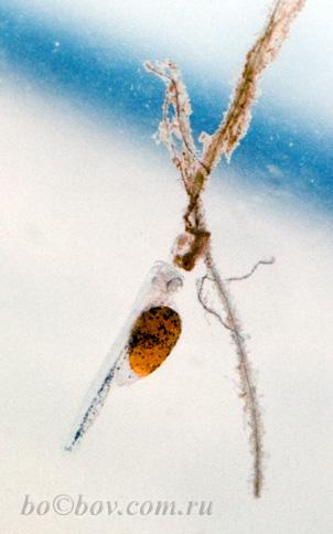 На четвертый день у личинок Pterophyllum scalare хорошо видно  сформированную голову, желточный мешок, пищеварительную систему.