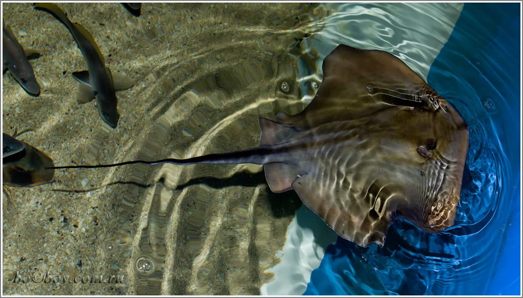Скат-хвостокол или морской кот . ( Dasyatis pastinaca) .