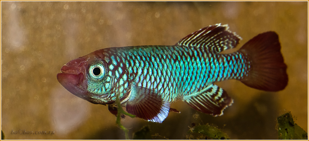 Killifish N.Eggersi red 'TSTS 2010-13
