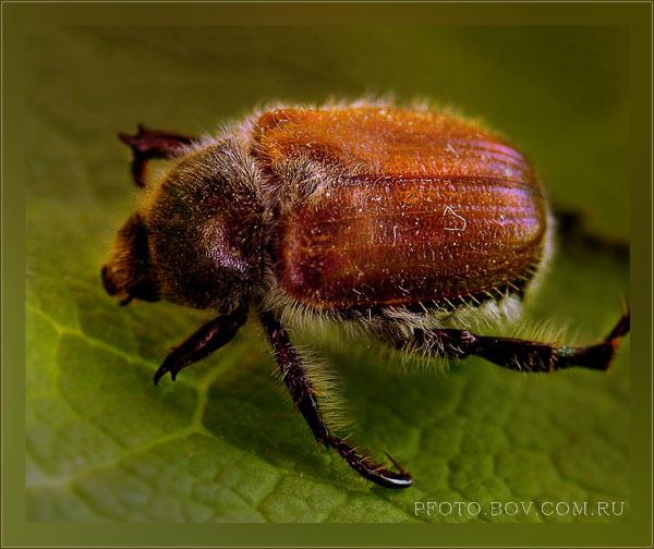 Scarabaeidae: Rutelinae