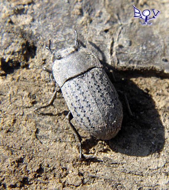 Весна, первый жук. Песчаный медляк Opatrim sabulosum (Tenebrionidae)