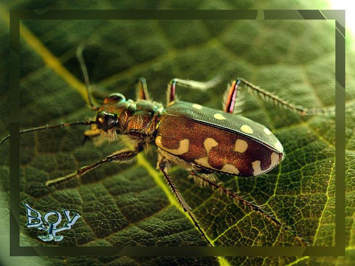 Скакун-межняк или Скакун бесчинствующий Cicindela hybrida (Carabidae)