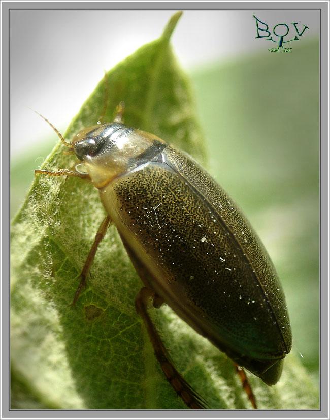Плавунец (Rhantus suturellus)