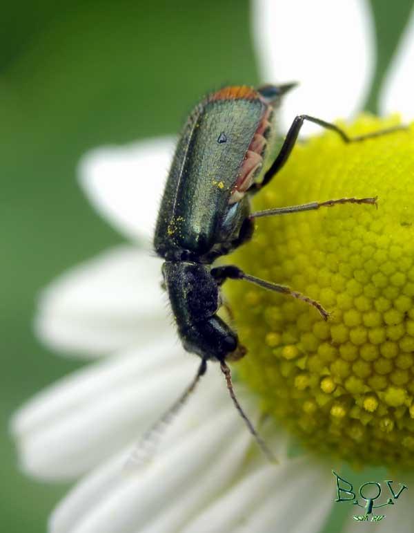 Малашка (? Malachius)(Malachiidae)