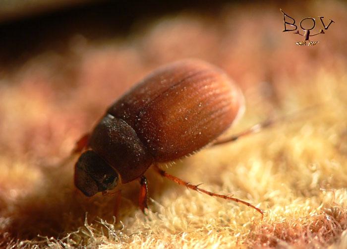 42.Шелковистый хрущик (Scarabaeidae: Sericinae).