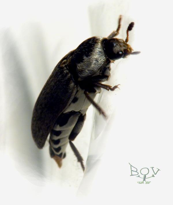 Кожеед из рода Dermestes (Dermestidae)