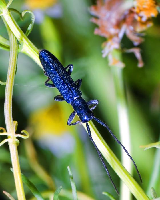 усач Agapanthiola leucaspis.