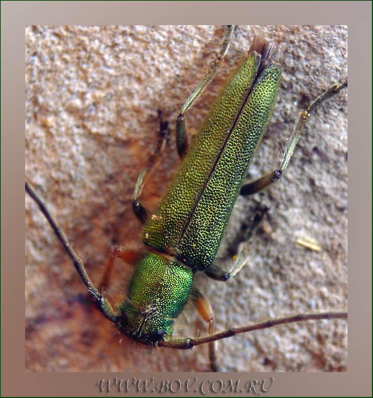 Усач Phytoecia caerulea (Cerambycidae)