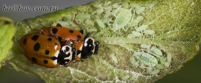 Hippodamia (Adonia) variegata (Goeze, 1777)