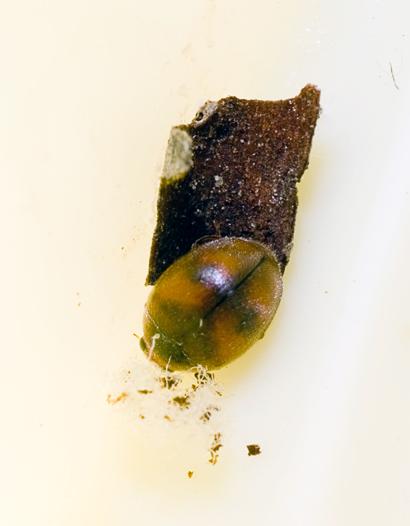 Scymnus (Pullus) subvillosus (Goeze, 1777)