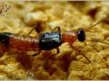 Стафилинид-синекрыл Paederus riparius (Staphylinidae)
