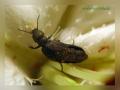Жук - майка (Meloe proscarabaeus).