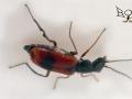 Малашка (? Anthocomus) (Malachiidae)