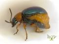 Самка Гречишного листоеда Gastrophysa polygoni (Chrysomelidae)