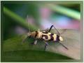 Изменчивый усач Chlorophorus varius (Cerambycidae).