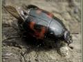 Карапузик Hister quadrimaculatus (Histeridae).
