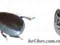 Margarinotus (Stenister) obscurus (Kugelann 1792)