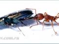 Муравей Myrmica schencki  и жук бегунчик Bembidion (Eurytrachelus) laticolle. det  Д. В. Потанин